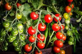 light requirements for growing tomatoes indoors how to grow tomatoes indoors the best gardening info