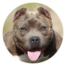 american pitbull terrier jaw bark vs bite a look at the stigma surrounding pit bulls