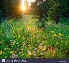 Wildfire Telluride Co by Colorado Mountains Wildflowers Stock Photos U0026 Colorado Mountains
