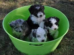 what does a australian shepherd look like aussiedoodle australian shepherd poodle mix info puppies pictures