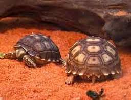 Tortoise Bedding Tortoise Trust Web Understanding Vivarium Substrates