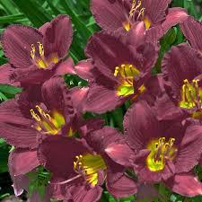 reblooming daylilies daylily ruby stella reblooming hemerocallis drought proof sun