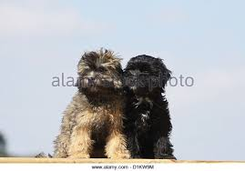 lion dogs lion dog stock photos lion dog stock images alamy
