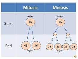 mitosis vs meiosis youtube