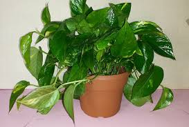 Indoor Vine Plant Garden Golden Pothos Vine Types Of Houseplants Golden Pothos