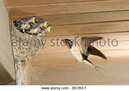 Barn Swallow Nest Pictures Barn Swallow Nest Stock Photo Royalty Free Image 72811185 Alamy