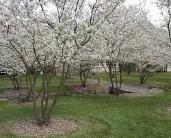 ten trees suitable for small gardens it u0027s time to plant