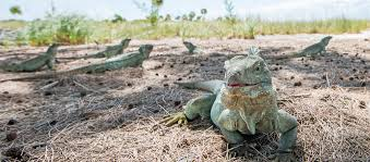 iguana island visit water cay nature trail also known as iguana island talbot