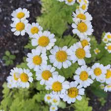 plant id forum daisy like flower garden org