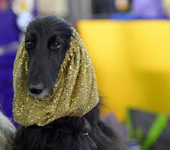 afghan hound an afghan hound backstage photos meet the dogs of the 2015
