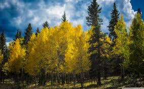 aspens trees colorado 4k hd desktop wallpaper for 4k ultra hd