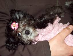 affenpinscher reviews pet ranch see below for a list of currently available puppies
