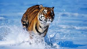 tiger run in water hd wallpaper