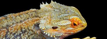 14 signs unhealthy bearded dragon bearded dragon care 101