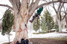 douglas maple acer glabrum pacific northwest native tree the university of utah tree tour facilities