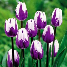 wallpaper bunga tulip hasil gambar untuk bunga tulip bunga tulip pinterest