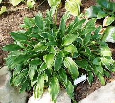 Fragrant Shade Plants - sugar hosta 3 inch container hosta plants shade