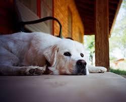 dog euthanasia understanding dog during euthanasia pethelpful