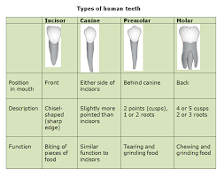 human teeth and dental decay biology notes for igcse 2014