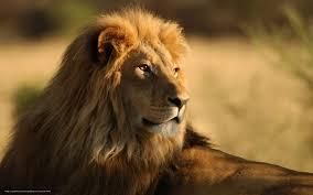 imagenes de leones salvajes gratis descargar gratis animales leones los gatos salvajes frica fondos