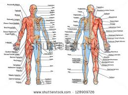 Shoulder Bone Anatomy Diagram Anatomy Stock Images Royalty Free Images U0026 Vectors Shutterstock