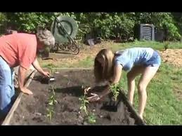 Potato Planter Box by How To Plant Sweet Potatoes Youtube
