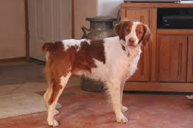 Do Brittany Spaniels Shed by Lost Dog Yakima Washington Asheur