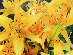 yellow lilies yellow lilies uhd desktop wallpaper for ultra hd 4k 8k mobile