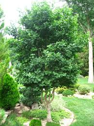 246 best s favorite trees images on garden plants