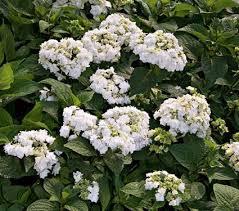 hydrangea wedding hydrangea macrophylla wedding gown white flower farm