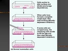 Parts Of A Tissue Cell Division Why Divide Characteristic Of Life Continuity