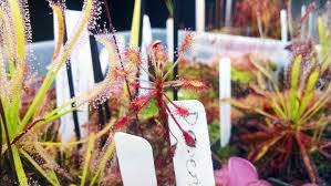plants native to madagascar donate to assess carnivorous plants get free gemmae sundews etc