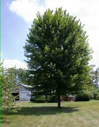 what size shade tree to buy autumn blaze maple is a fast growing