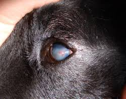 australian shepherd eye diseases corneal ulcers are among the most common eye problems that most
