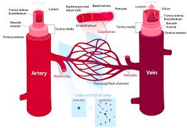 human anatomy diagram veins function biology and health focus