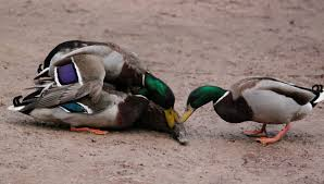 the mating rituals of ducks and roadrunners are very artistic