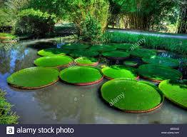 florida native aquatic plants kanapaha gardens gainesville florida giant victoria water lily