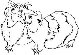 guinea pig mating coloring color luna