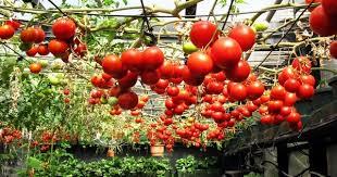 ever tried growing tomatoes upside down blog nurserylive com