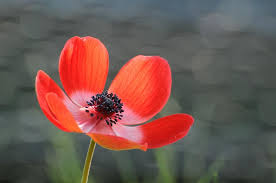 grey wallpaper with red flowers anemone red flower wallpaper nature and landscape wallpaper better