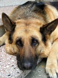 belgian shepherd golden retriever mix itt your top 3 dog breeds ign boards