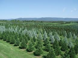 christmas image tremendous christmas tree farms near me