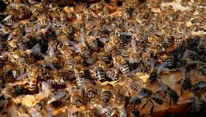 Harvesting Honey From A Top Bar Hive How Can I Extract Honey From A Wild Beehive Sciencing