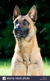 belgian shepherd south africa belgian malinois stock photos u0026 belgian malinois stock images alamy