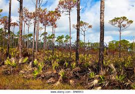 florida landscapes images Saw palmetto trees stock photos saw palmetto trees stock images jpg