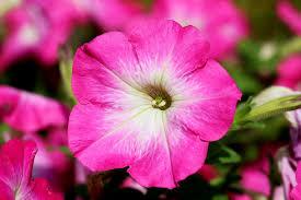 June Flowers - free photo petunia june flowers nature tabitha plants max pixel