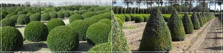 Yew Topiary - popular topiary shapes box and yew specimens from hedgeworx