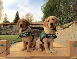 Training A Guide Dog For The Blind 32 Best Guide Dogs For The Blind Images On Pinterest Guide Dog