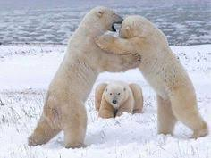 Dancing Bear Meme - dancing bears damn it john it s left right left recaption this