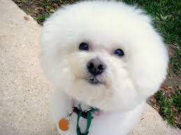 ozzie a bichon frise thank you to georgetown veterinary hospital and dr lee morgan